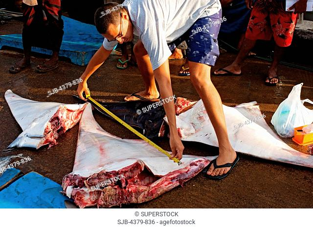 A scientist measuring a butchered devilray Mobula japanica, Mirissa harbour, Sri Lanka