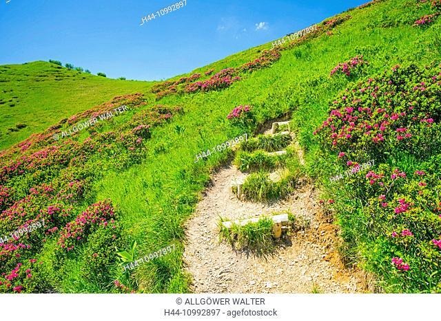 Allgäu, Allgäu Alps, Alps, Alpine plant, Alpine roses, Alpine roses blossom, Bavaria, near Oberstdorf, mountain landscape, hairy Alpenrose, flowers, Germany