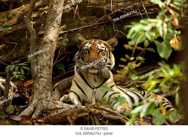 Bengal Tiger (Panthera tigris tigris), Satpura National Park, Madhya Pradesh, India