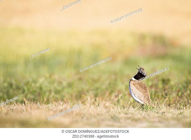 Little Bustard (Tetrax tetrax) male displaying on the lek. Lleida province. Catalonia. Spain