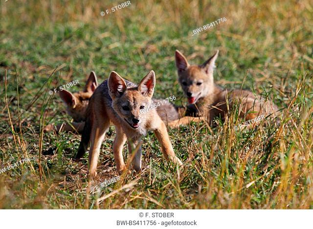 black-backed jackal (Canis mesomelas), three cubs, Kenya, Masai Mara National Park