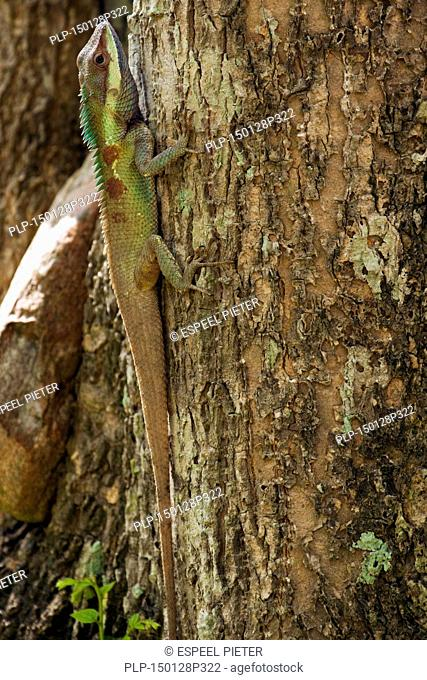 Indo-Chinese forest lizard / blue-crested lizard (Calotes mystaceus) climbing tree trunk in forest
