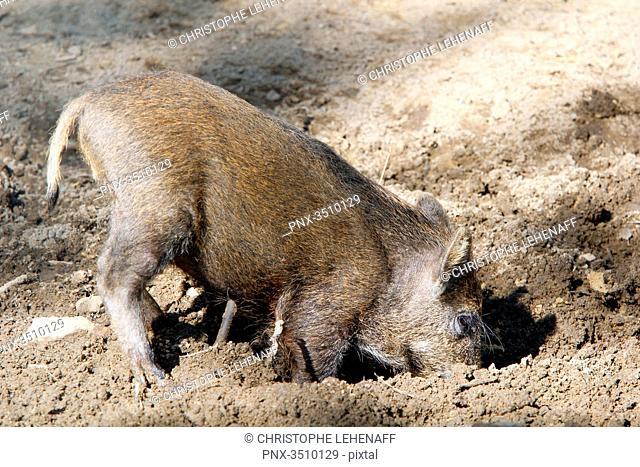 France, Burgundy, Yonne. Area of Saint Fargeau and Boutissaint. Slab season. Wild boar digging the ground