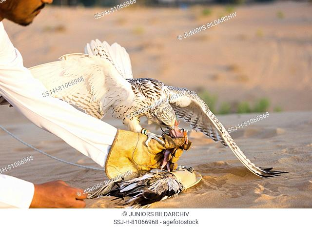 Trained Saker Falcon (Falco cherrug) standing on lure on sand, being feed by falconer. Abu Dhabi