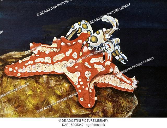 Red knobbed Starfish (Protoreaster lincki), Oreasteridae, and Harlequin Shrimp (Hymenocera elegans), Hymenoceridae, drawing