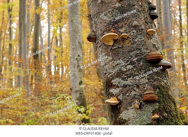 Germany, Bavaria, tree mushrooms on trunk, close up