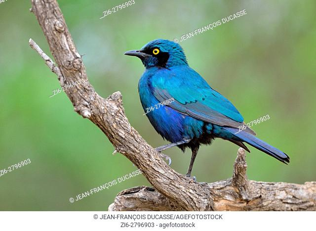 Greater blue-eared starling (Lamprotornis chalybaeus), adult perched on a branch, Kruger National Park, South Africa, Africa