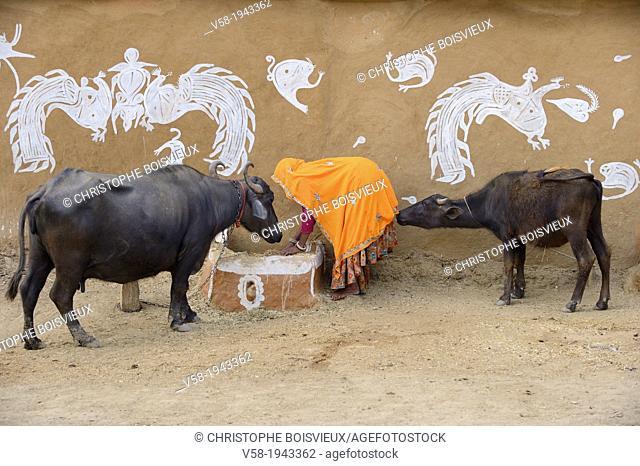 India, Rajasthan, Tonk region, Farmer feeding buffaloes