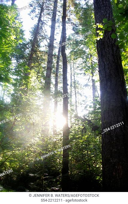 Backlit trees in the Siuslaw National Forest near Florence, Oregon, USA