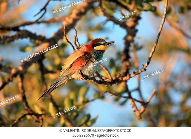 Bee-eater (Merops apiaster) in the Alto Palancia region. Castellón