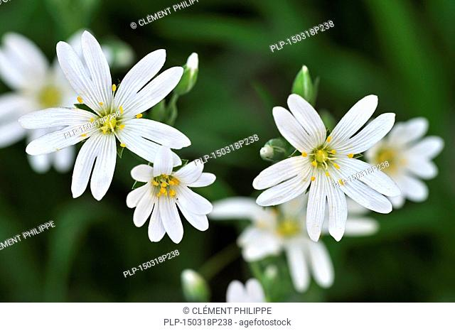 Greater stitchwort / Addersmeat (Stellaria holostea) in flower