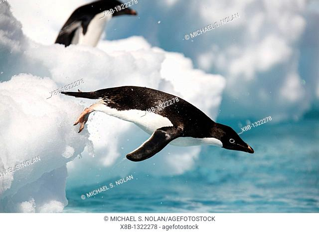 An adult Adelie penguin Pygoscelis adeliae leaping into the sea to forage in the Danger Island Group in the Weddell Sea, Antarctica