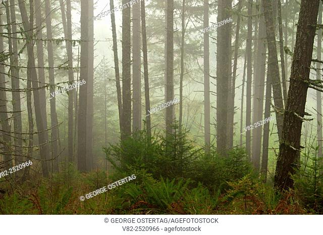 Forest in fog along South Ridge Trail, Beazell Memorial Forest County Park, Benton County, Oregon