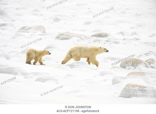 Polar Bear (Ursus maritimus) Mother and cubs wandering Hudson Bay coastline waiting for the sea ice to form