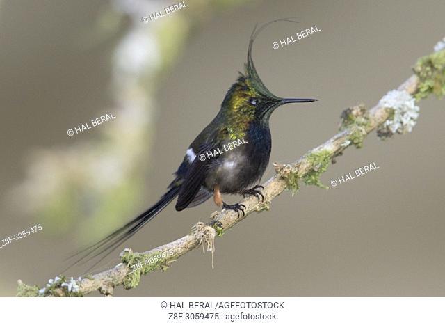 Wire-Crsted Thornail Hummingbird male (Discosura popelarii). Ecuador