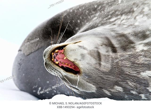 Adult Weddell Seal Leptonychotes weddellii hauled out on ice near the Antarctic Peninsula, Southern Ocean  MORE INFO This is the most southerly breeding seal in...