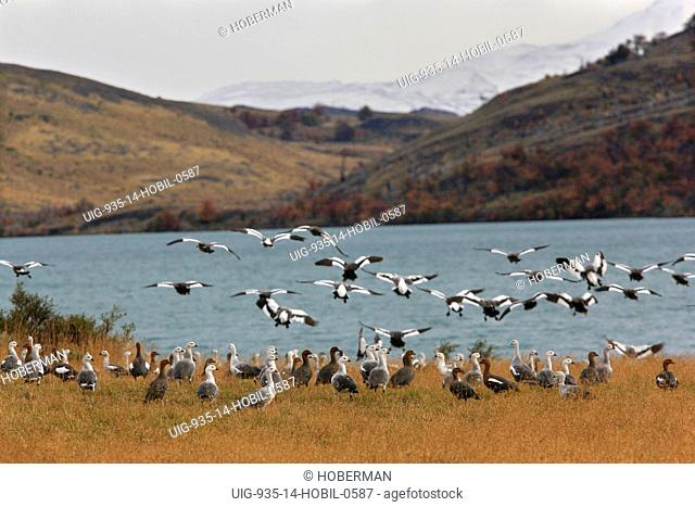 Upland Geese, Chloephaga picta, Chile