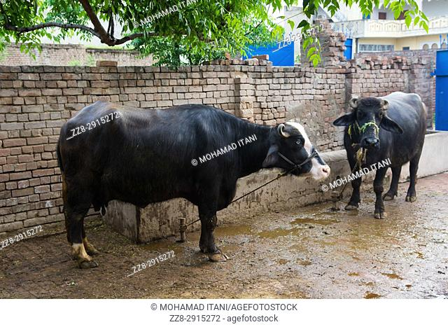 Buffalos inside a farm Kharian village Pakistan