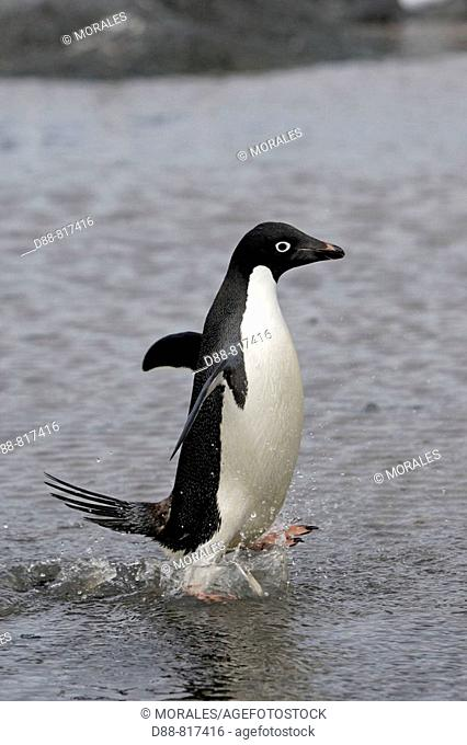 Adelie Penguin (Pygoscelis adeliae). Gourdin Island, Antarctica