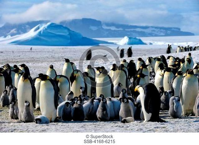 ANTARCTICA, WEDDELL SEA, SNOW HILL ISLAND, EMPEROR PENGUINS Aptenodytes forsteri, COLONY, CHICKS HUDDLING TO KEEP WARM