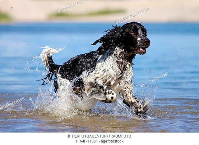 running English Springer Spaniel