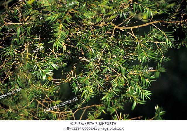 Evelyn Keteleeria Keteleeria evelyniana foliage on mature tree, North Vietnam