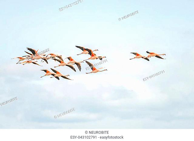 Flying Rosy Flamingos at Nimez Birds Reservation area, Patagonia, Argentina