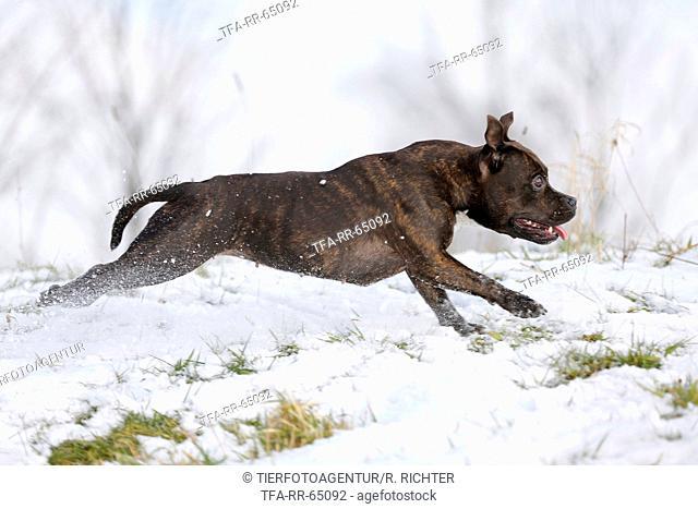 running Staffordshire Bullterrier