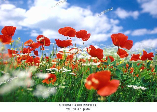 Common Poppy field (Papaver rhoeas), Pienza, Tuscany, Italy
