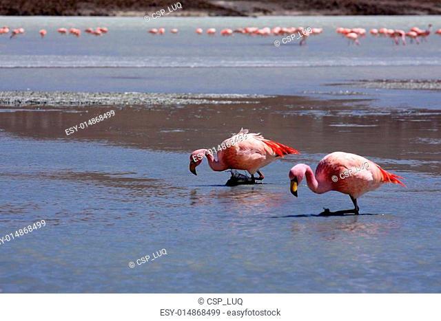 Flamingos on lake in andes mountain, Bolivia