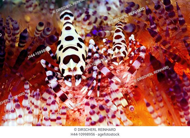 Pair of Coleman Shrimp on Fire Sea Urchin, Periclimenes colemani, Ambon, Moluccas, Indonesia