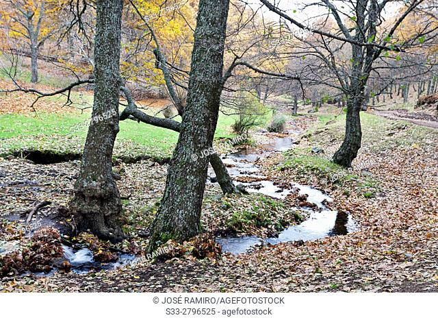 Yedra's stream in El Tiemblo's Chestnut. Sierra de Gredos. Avila. Castilla Leon. Spain. Europe