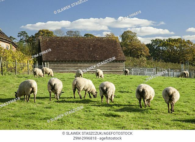 Sheep grazing in the West Sussex countryside near Hurstpierpoint, England