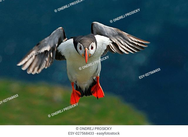 Flying puffin. Cute bird on the rock cliff. Atlantic Puffin, Fra