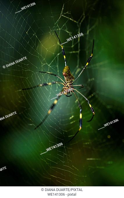 """""""""""Golden silk orb-weaver"""" (Nephila), A large orange and brown spider with the feathery tufts on its legs is well know to most native southerners"