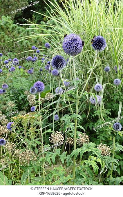Globe thistle Echinops, allium Allium and Chinese silver grass Miscanthus