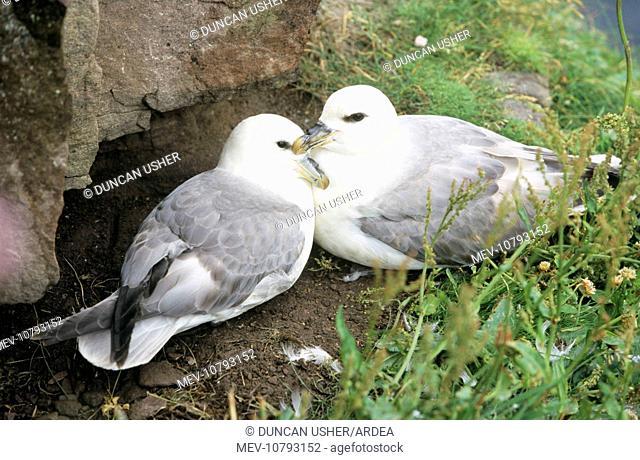 Northern FULMAR - pair at nesting site (Fulmarus glacialis)