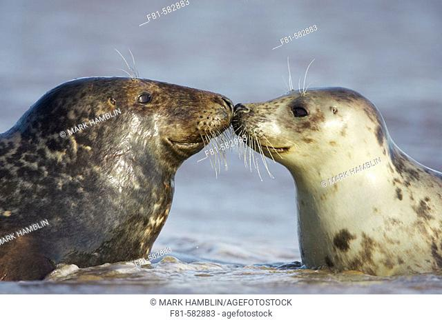 Grey Seal  (Grypus halichoerus) male & female nose to nose. North Lincolnshire, UK. November 2005