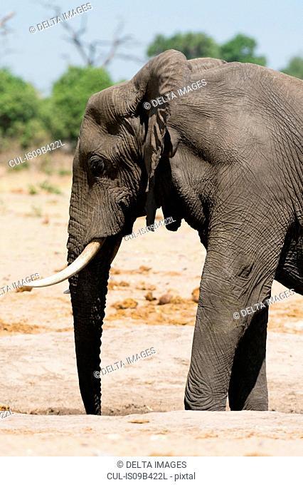 Side view of african elephant (Loxodonta africana), Savuti marsh, Chobe National Park, Botswana