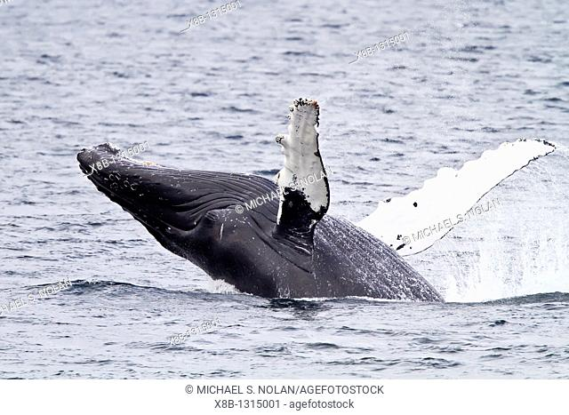 Adult humpback whale Megaptera novaeangliae breaching along the west side of Chatham Strait in Southeast Alaska, USA  Pacific Ocean  MORE INFO There are an...