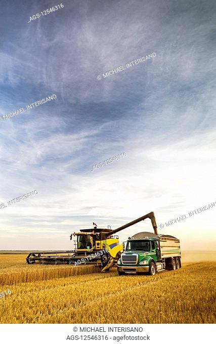Combine harvesting a golden wheat field and filling a truck with blue sky and cloud; Beiseker, Alberta, Canada