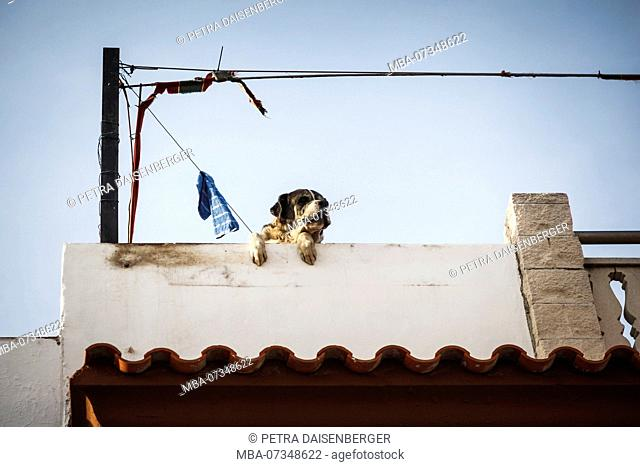 A big dog looking over a wall and observing the surroundings