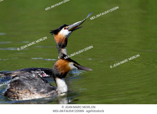 Fauna - Bird - Great crested grebes on a pond