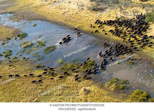 Aerial view of African buffalo or Cape buffalos group (Syncerus caffer), crossing the marsh, Okawango Delta, Botswana. The Okavango Delta is home to a rich...