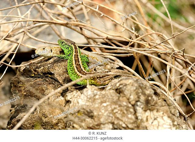 Sand lizard, Lacerta agilis, Lacertidae, Lizard, male, female, display, reptile, animal, Zizers, Canton of Graubünden, Switzerland