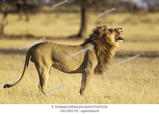 Lion (Panthera leo). Male does the flehmen, the typical grimace of many male mammals when having received the scent of a female