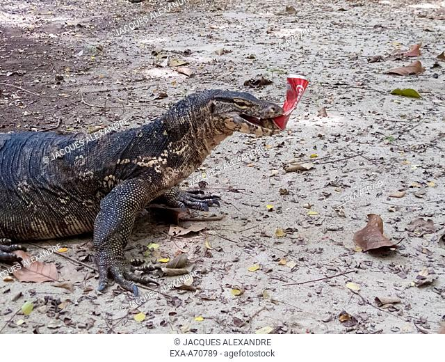 Monitor lizard, waran, plays with a can