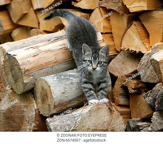 Kitten with Firewood