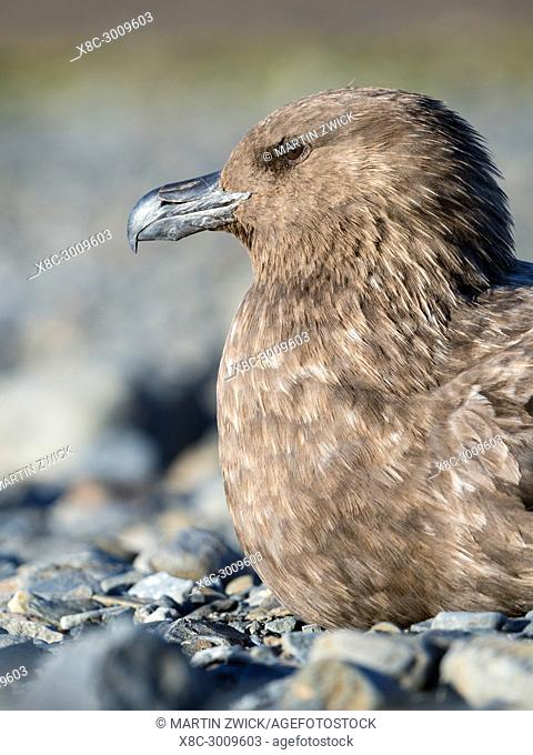 Brown Skua (Stercorarius lonnbergi) on South Georgia. The taxonomy is under dispute. Other names are: Stercorarius antarcticus lonnbergi, Antarctic Skua