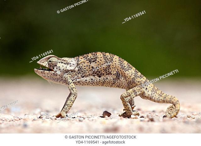Common chameleon Chamaeleo chamaeleon, Etosha National Park, Namibia